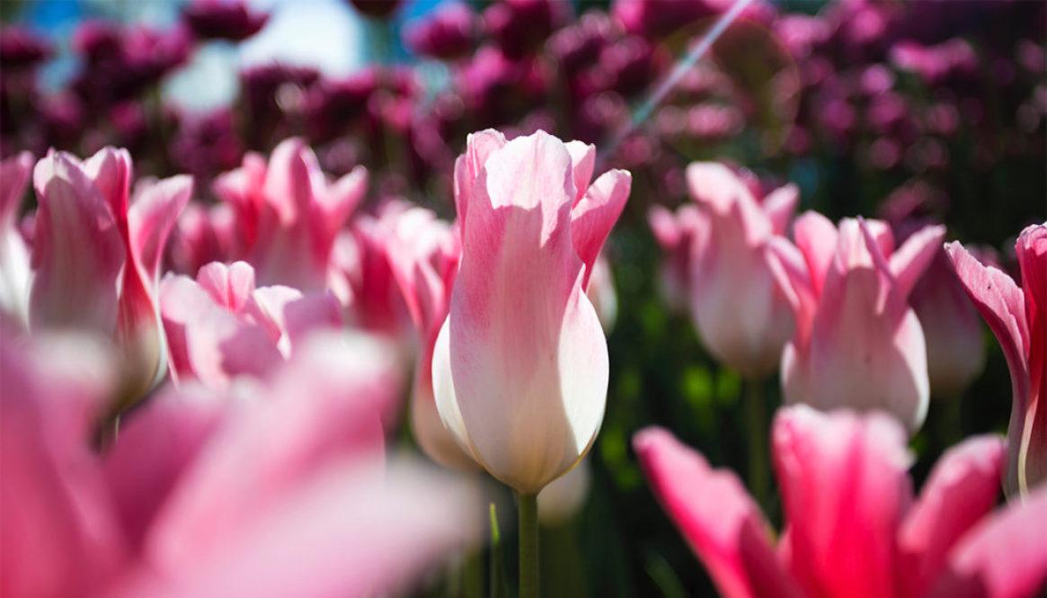tulpen, foto 39kopie